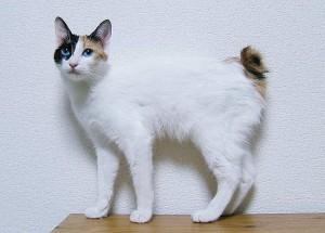 JapaneseBobtail