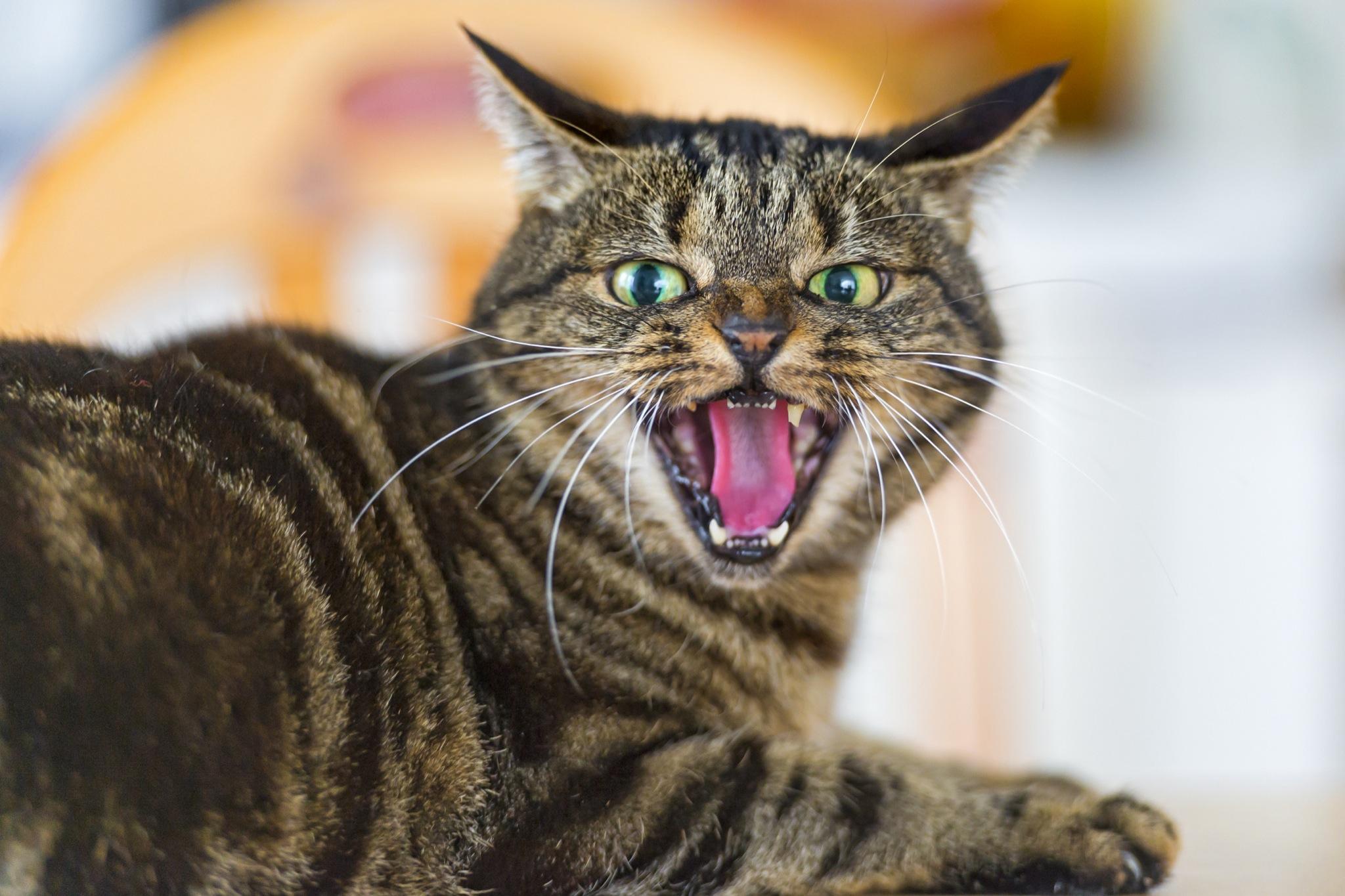 キジトラ猫威嚇   cat.sc 猫画像