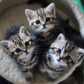 キジトラ猫子猫の猫画像