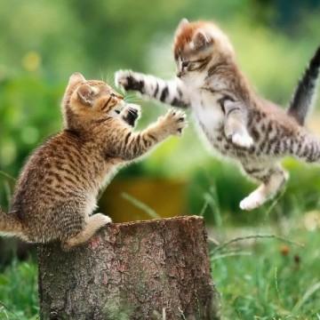 キジトラ白猫子猫の猫画像