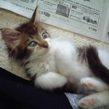 キジトラ白猫新聞紙の猫画像