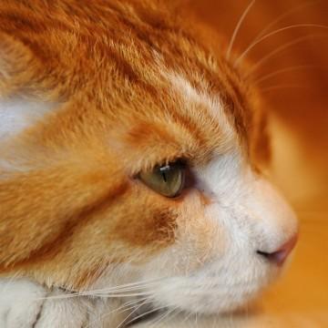 茶トラ白猫の猫画像