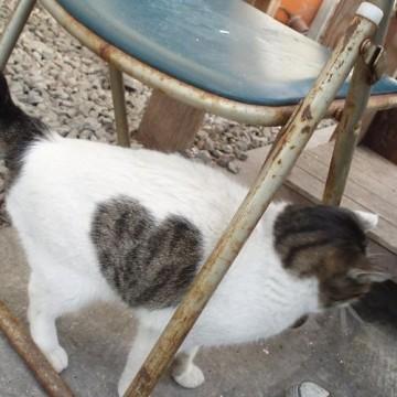 キジトラ白猫ハートの猫画像