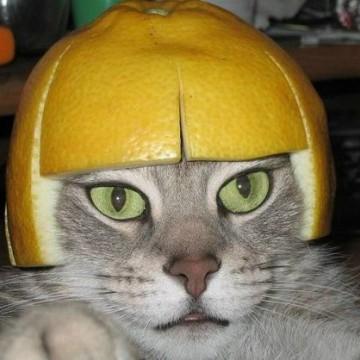 キジトラ猫みかんの猫画像