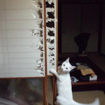 白猫障子の猫画像