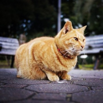 茶トラ猫公園の猫画像