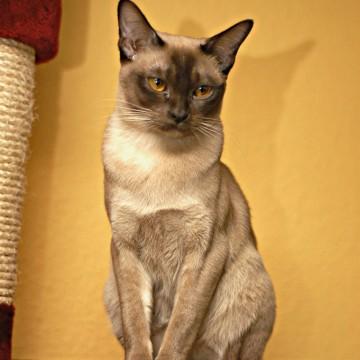 ポインテッド猫の猫画像