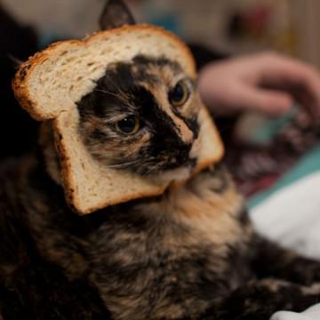 キジトラ猫パンの猫画像
