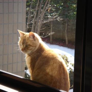 茶トラ猫窓の猫画像
