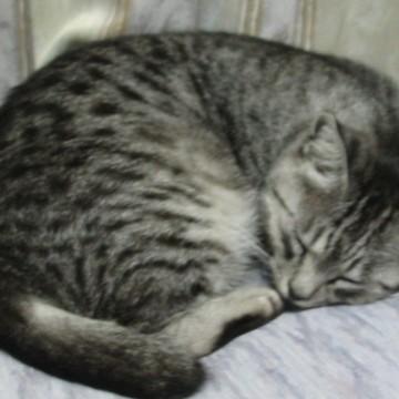 サバトラ猫睡眠の猫画像