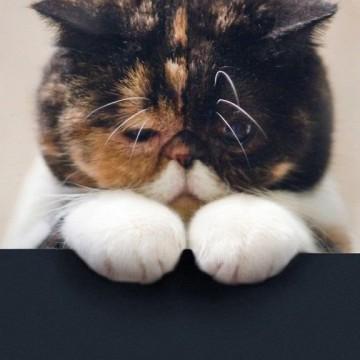 キジトラ白猫ブサイクの猫画像