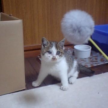サバトラ白猫子猫猫じゃらしの猫画像