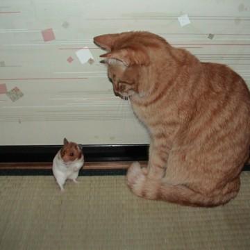 茶トラ猫ハムスターの猫画像