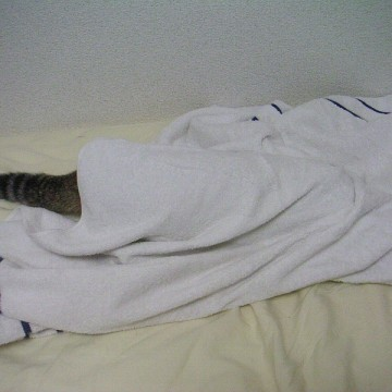 キジトラ猫タオルケットの猫画像