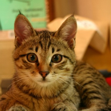 キジトラ猫部屋の猫画像