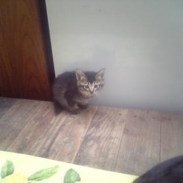 キジトラ猫子猫部屋の猫画像