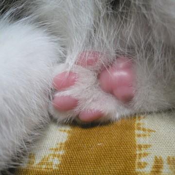 白猫肉球の猫画像