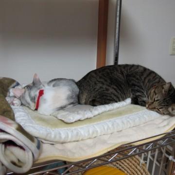 キジトラ猫灰白猫布団の猫画像