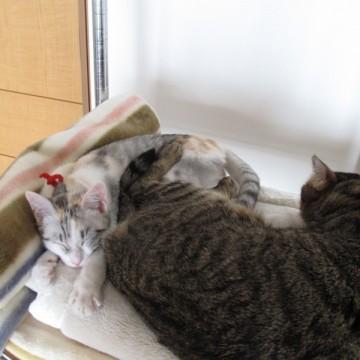 キジトラ白猫サバトラ猫布団の猫画像