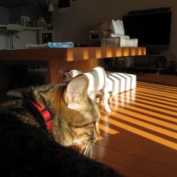 キジトラ猫白猫リビングの猫画像