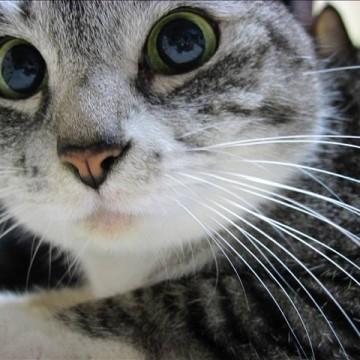 サバトラ白猫の猫画像