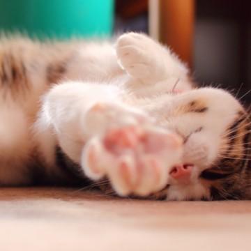 キジトラ白猫昼寝の猫画像