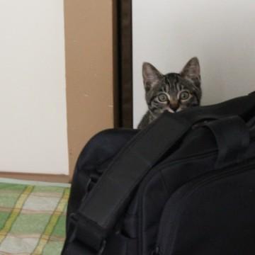 キジトラ猫バッグの猫画像