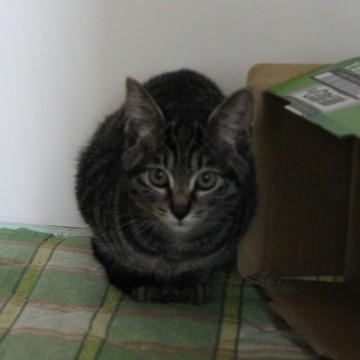 キジトラ猫ダンボールの猫画像