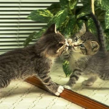サバトラ白猫子猫鏡の猫画像