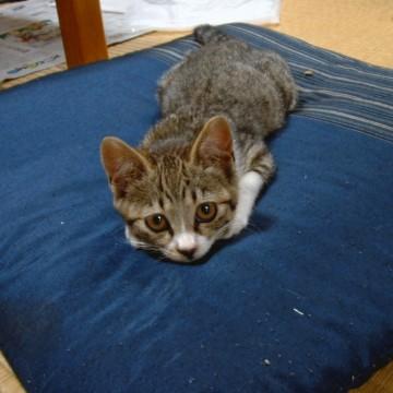 サバトラ白猫子猫座布団の猫画像
