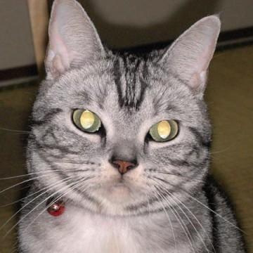 サバトラ白猫畳の猫画像
