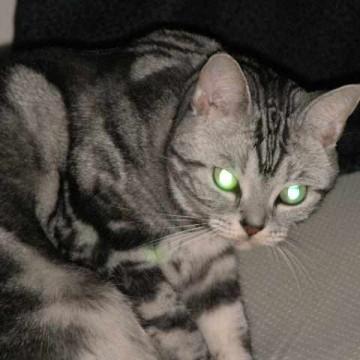 サバトラ猫カーペットの猫画像