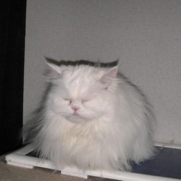 白猫トイレの猫画像