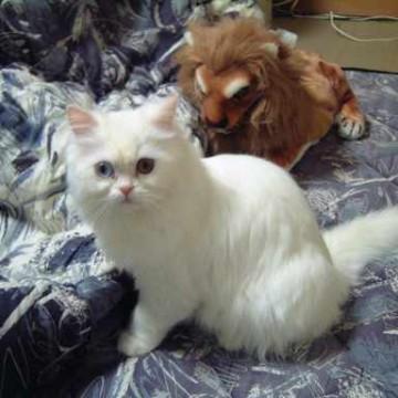 白猫布団ライオンの猫画像