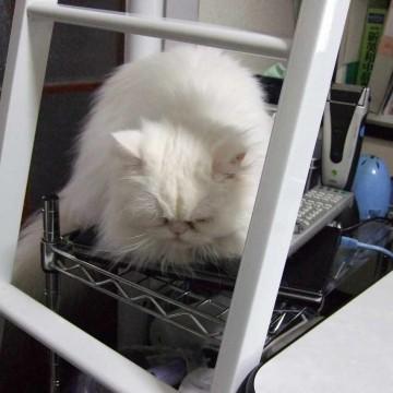 白猫シルバーラックの猫画像