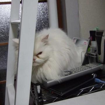 白猫リモコンの猫画像