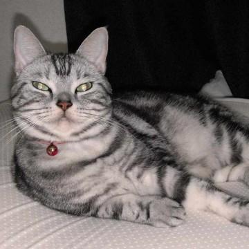サバトラ白猫布団の猫画像
