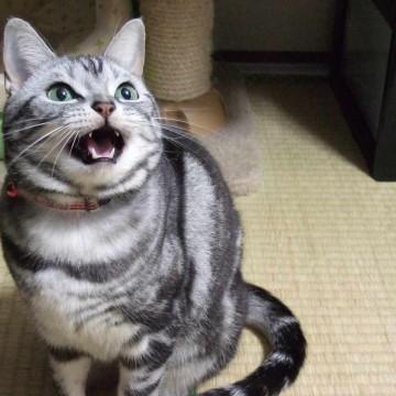 サバトラ猫畳の猫画像