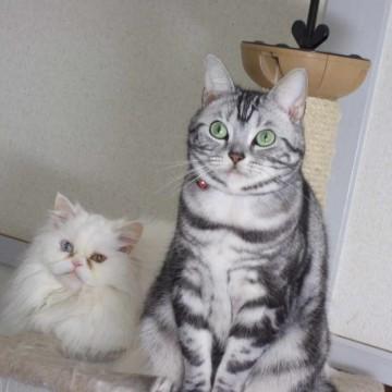 白猫サバトラ猫キャンとタワーの猫画像