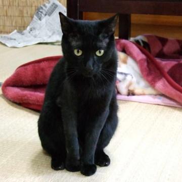 黒猫畳の猫画像