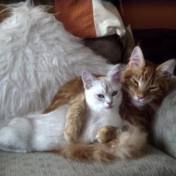 白猫茶トラ猫ソファーの猫画像