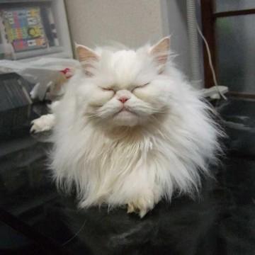 白猫テーブルの猫画像
