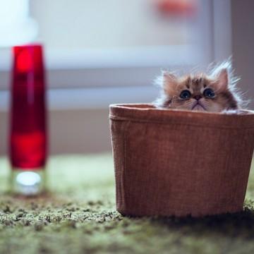 茶トラ猫子猫カゴの猫画像
