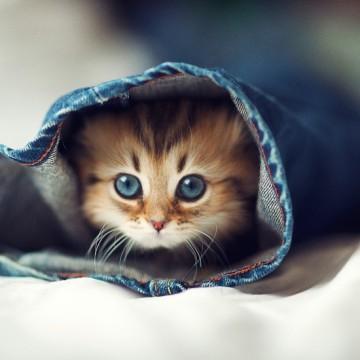 サビ猫子猫ジーンズの猫画像