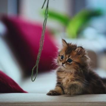 サビ猫子猫紐の猫画像