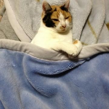 三毛猫毛布の猫画像