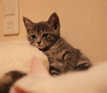 サバトラ猫白猫布団の猫画像