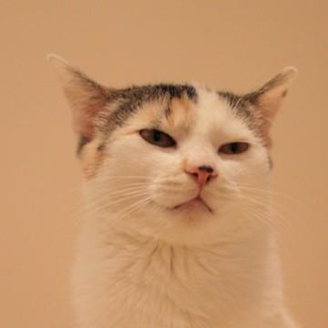 三毛猫の猫画像