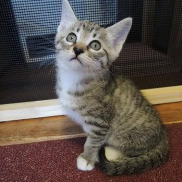 サバトラ猫屋内の猫画像