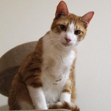茶トラ白猫キャットタワーの猫画像